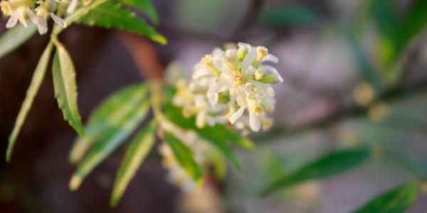fiore dell'albero di neem